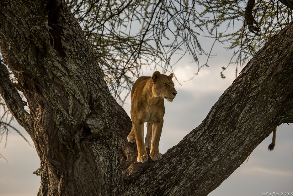 TANZANIA, AFRICA - Lioness standing in tree, looking off into the distance. (Photo Credit: National Geographic Channels/Natasha Kutukova)
