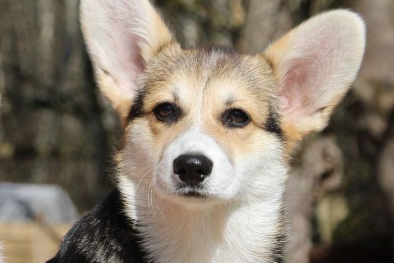 Welsh Corgi Pembroke koer